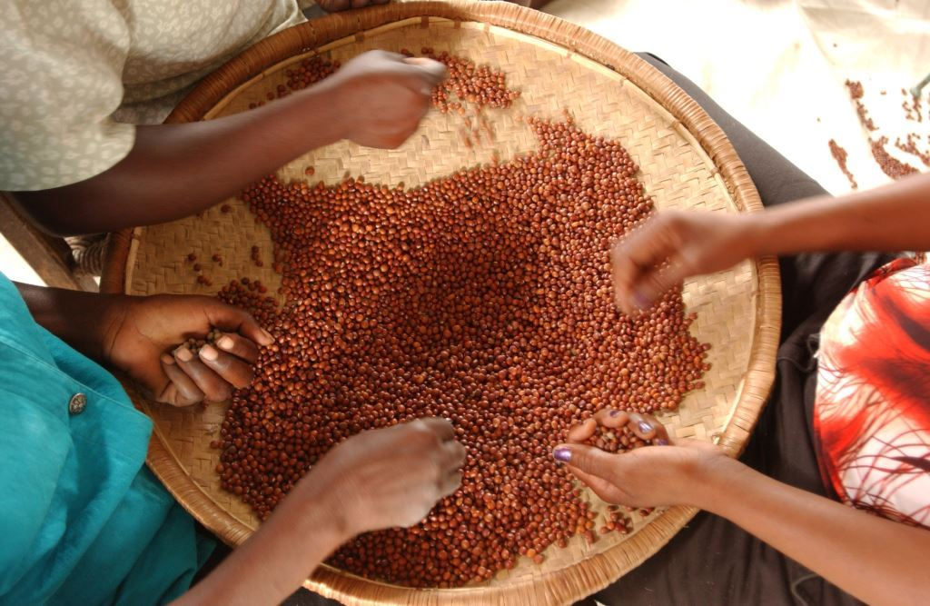 UN launches International Year of Pulses