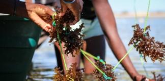 Joint standard sees seaweed get certified
