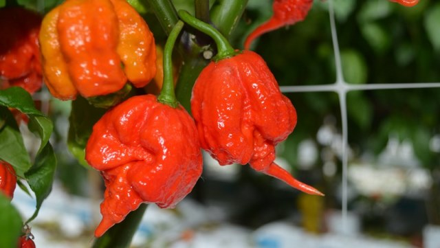 World's hottest chilli pepper to go on sale in UK supermarket