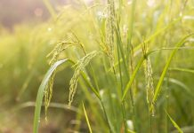 Protein breakthrough could pave way for disease-resistant rice crops