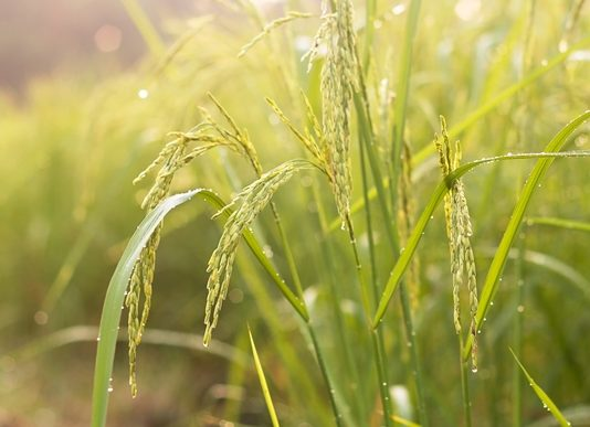 Ingredion acquires Thai rice starch & flour business