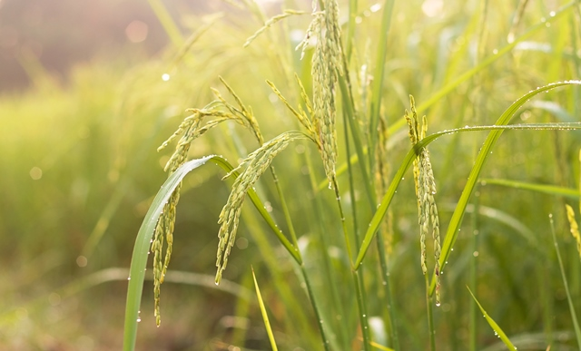 Investment needed in 'climate-smart' rice, report claims