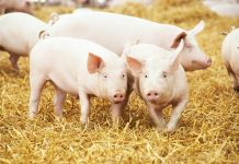 China's pork market will need five years to rebalance, says Rabobank