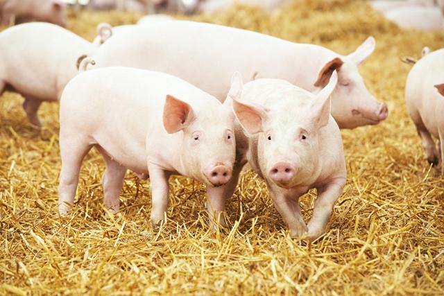 Cranswick acquires premium pig farming business
