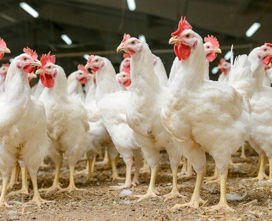 Cranswick, M&S and Coop Switzerland leading on farm animal welfare