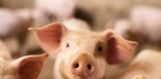 More educational investment into NI's pig sector needed, says UFU