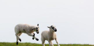 Project to lower environmental impact of sheep feeding & breeding