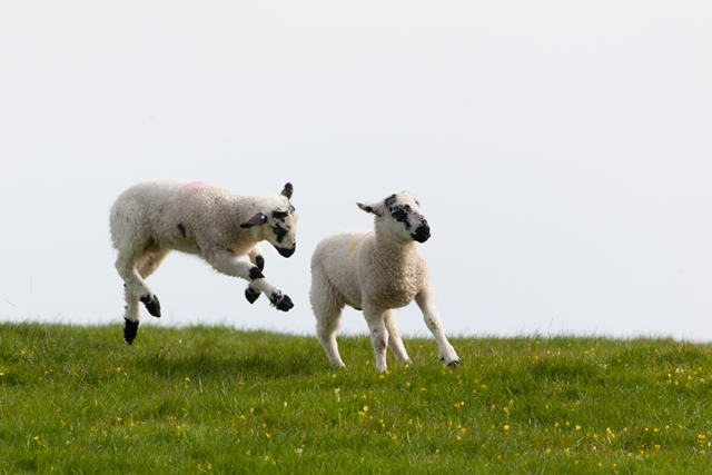 AHDB leverages EU funds for €10m lamb promotion