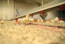 Tyson Foods rolls out video monitoring for chicken care