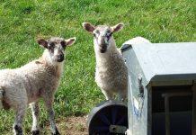 2 Sisters ramps up lamb initiative