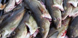 North Sea cod certified as sustainable