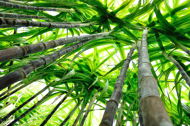 Barry Callebaut joins sustainable cane sugar platform
