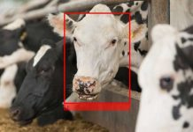 Facial recognition the next step for dairy industry