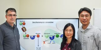 Researchers develop low-calorie sweetener from yeast and lactose