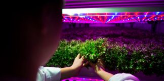 Ikea harvests first hydroponically-grown lettuce