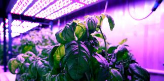Scientists grow better tasting basil with machine-learning
