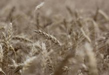 Cargill swaps corn for wheat at German site to meet market needs