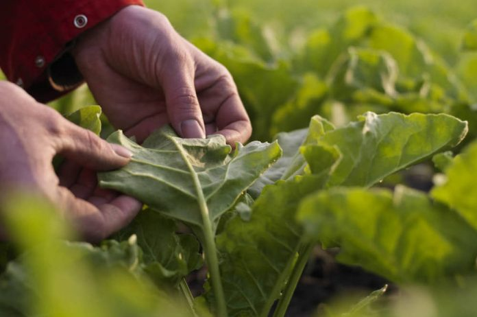 Suiker Unie produces protein from sugar beet leaves