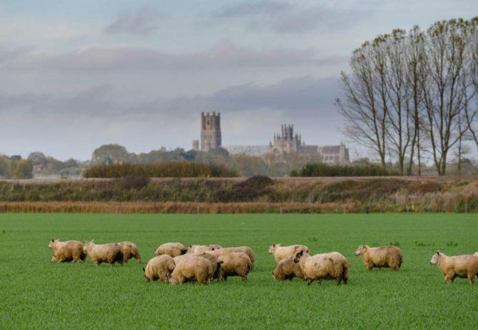 Waitrose to source 100% British lamb
