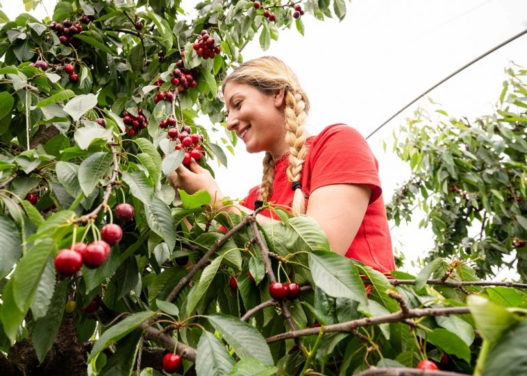 UK growers primed for another strong 2021 cherry season